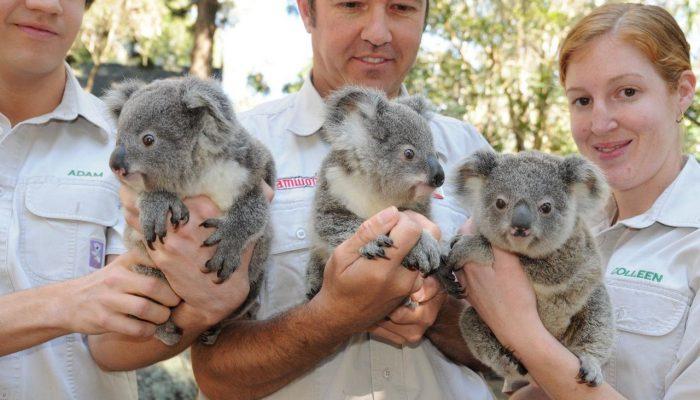 Спасение коал