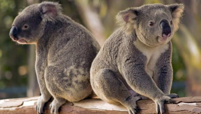 Детеныши у коал
