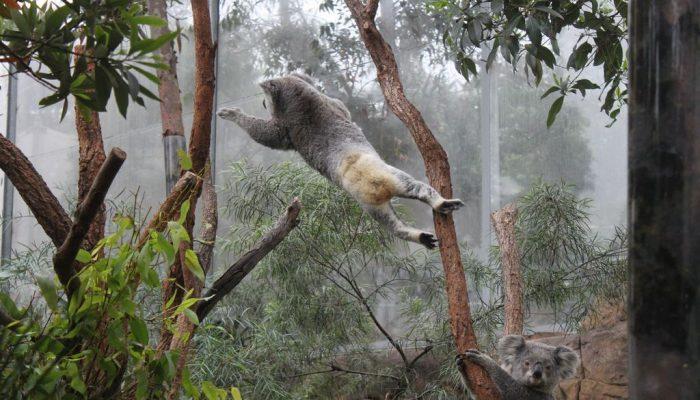 Прыжок коалы