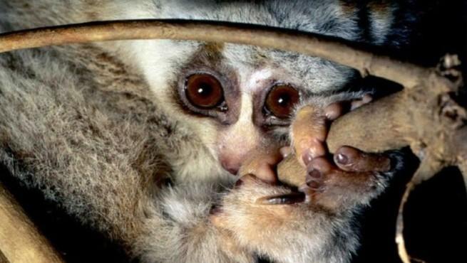 Удивительный примат