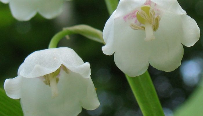 Цветок ландыш фото