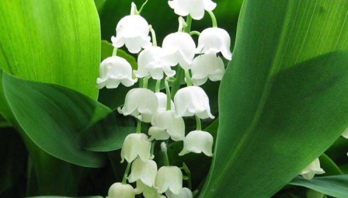 Цветы похожие на ландыши название