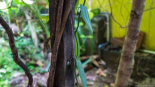 Сандаловое деревоо