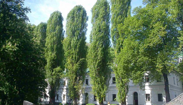 тополь древесина свойства
