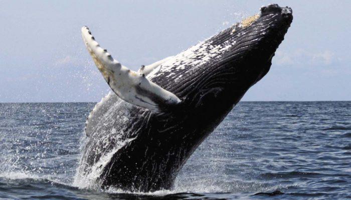 Синий кит – самое большое животное на планете