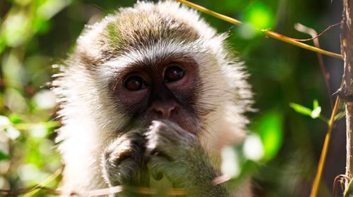 обезьянка верветка