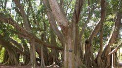 Деревья пандо