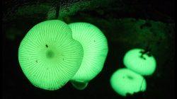 Биолюминесценции грибов