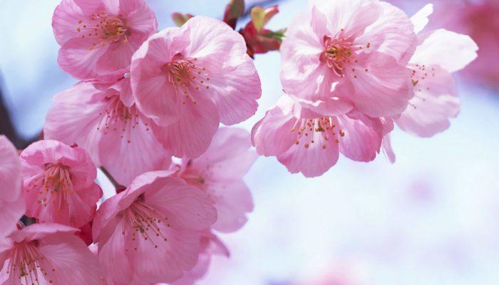 Yaponskoe Derevo Sakura Istoriya Opisanie I Foto