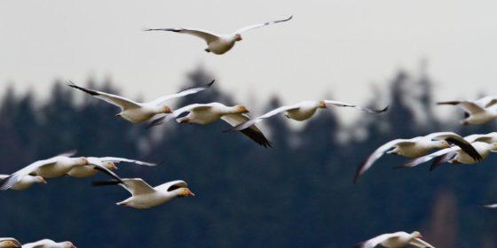 миграция птиц