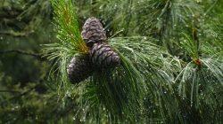 Дерево кедр- фото и описание видов кедровой сосны, уход и выращивание кедра