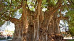Древнейшее дерево планеты