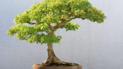 Бонсай: описание, выращивание, виды (фото)