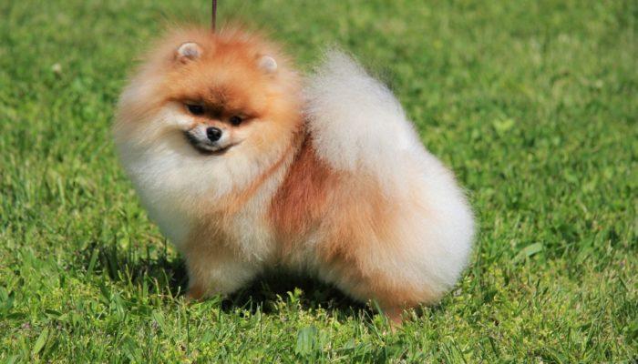 собака шпиц характеристика