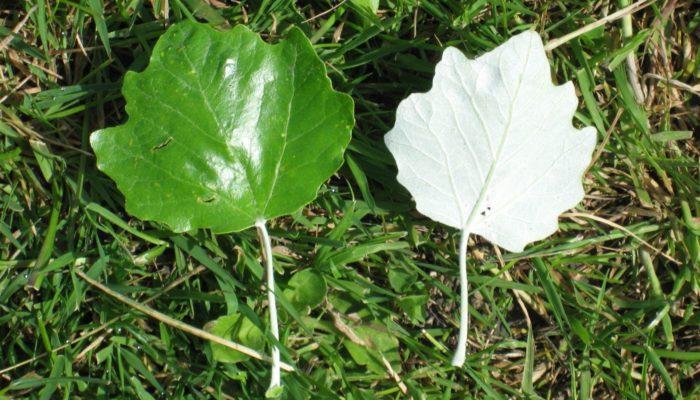 описание листа тополя